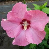 Hibiscus syriacus 'Aphrodite' 30/40 C4L