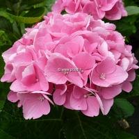 Hydrangea macrophylla 'Xian' ® 20/40 C4L