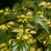 Lamium galeobdolon 'Florentinum' C3L