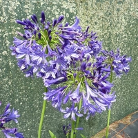 Agapanthus 'Purple Cloud' C3L