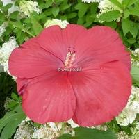 Hibiscus x moscheutos 'Géant Red' C3L
