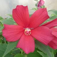 Hibiscus palustris 'Rubra' C3L