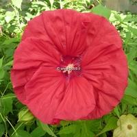 Hibiscus x moscheutos 'Red Wine' ® C3L