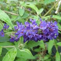 Buddleja davidii 'Adonis Blue' ® 40/50 C4L