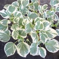 Hydrangea anomala ssp. petiolaris 'Silver Lining' ® 40/60 C3L