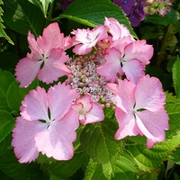 Hydrangea macrophylla 'French Cancan' ® 20/40 C4L