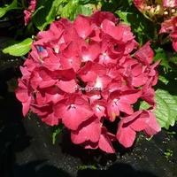 Hydrangea macrophylla 'Mascotte' 20/40 C4L