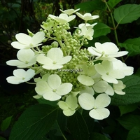 Hydrangea paniculata 'Little Quick Fire' ® C4L 30/40