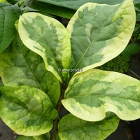 Orixa japonica 'Variegata' 30/40 C4L