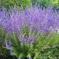 Perovskia atriplicifolia 'Crazy Blue' ® C3L
