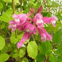 Salvia involucrata 'Bethellii' C3L