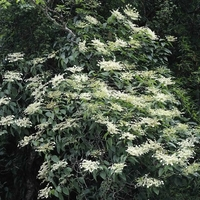 Schizophragma integrifolium var. fauriei 'Windmills' ® 40/60 C3L