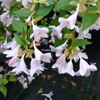 Abelia x grandiflora 'Pink Pong' ® 20/30 C4L