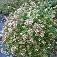 Abelia 'Little Richard' 30/40 C4L