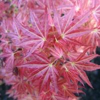 Acer palmatum 'Wilson's Pink Dwarf' 40/50 C4L
