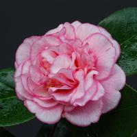 Camellia japonica 'Cancan' 20/30 C2,5L