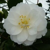 Camellia japonica 'K. Sawada' 200/250 C70L