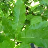Quercus imbricaria 80/100 C4L