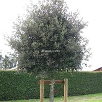 Quercus ilex 80/100 C4L