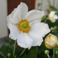 Anemone 'Honorine Jobert' C3L