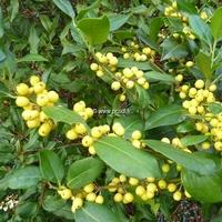 Ilex aquifolium 'Bacciflava' 30/40 C3L