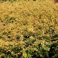 Berberis thunbergii 'Golden Dream' ® 25/30 C3,5L