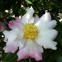 Camellia sasanqua 'Chantilly Rose'