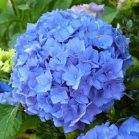 Hydrangea macrophylla 'Early Blue' ® 20/40 C4L
