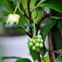 Kadsura japonica 40/60 C4L