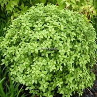 Pittosporum tenuifolium 'Golf Ball' ® 30/40 C7L