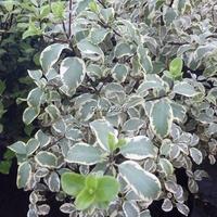 Pittosporum tenuifolium 'Wendle Channon' 30/40 C4L