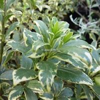Pittosporum heterophyllum 'Variegatum' 30/40 C4L