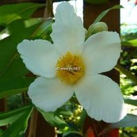 Gordlinia grandiflora 100/150 C4L