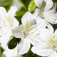 Rhododendron (azalée persistante) 'Palestrina'