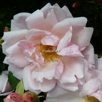 Rosa 'Albertine' 40/60 C4L