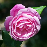 Rosa 'Old Blush' 40/60 C4L
