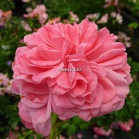 Rosa 'Romantic Panoramic' ® 30/40 C4L