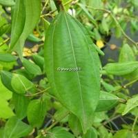 Lindera strychnifolia 40/60 C7L