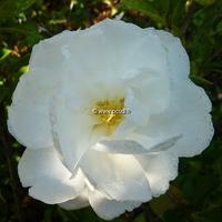 Camellia sasanqua 'Azakura'