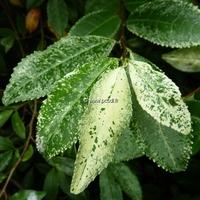 Camellia sinensis 'Variegata' 20/30 C3,5L