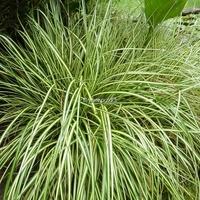 Carex oshimensis 'Evergold' C3L