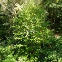 Cercidiphyllum japonicum 80/100 C4L