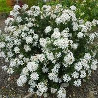 Choisya x dewitteana 'White Dazzler' ® 20/30 C3L