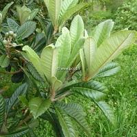 Eriobotrya japonica 40/50 C4L
