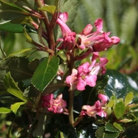 Escallonia 'Jamie' ® 20/30 C3L