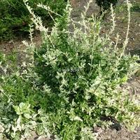 Euonymus fortunei 'Harlequin' 30/40 C4L