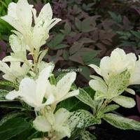 Euonymus fortunei 'Pierrolino' ® 20/30 C3L