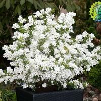 Exochorda racemosa 'Niagara' ® 40/50 C4L