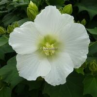 Hibiscus mutabilis 'Alba' 30/40 C4L