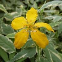 Kerria japonica 'Picta' 40/60 C4L